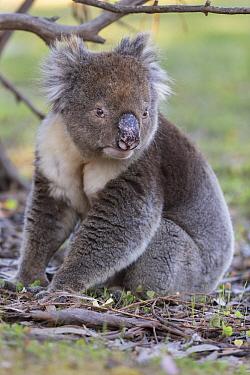 Koala (Phascolarctos cinereus) male sitting on ground, portrait. Kangaroo Island, South Australia.