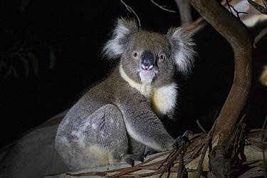 Koala (Phascolarctos cinereus) sitting in tree at night. Kangaroo Island, South Australia.