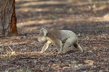 Koala (Phascolarctos cinereus) male walking on leaf litter. Kangaroo Island, South Australia.