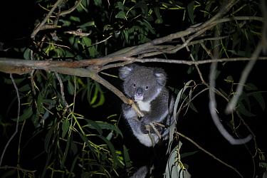 Koala (Phascolarctos cinereus) joey aged ten months foraging in tree at night. Kangaroo Island, South Australia.