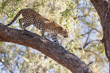 Leopard (Panthera pardus) walking down branch. Okavango Delta, Botswana.