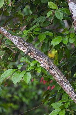 Water monitor (Varanus salvator) resting on tree trunk in forest. Kinabatangan River, Borneo, Malaysia.