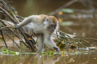 Long-tailed macaque (Macaca fascicularis) fishing food out of water. Sabah, Malaysia.