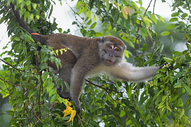 Long-tailed macaque (Macaca fascicularis) in tree. Kinabatangan River, Borneo, Malaysia.