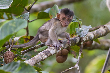 Long-tailed macaque (Macaca fascicularis) baby in tree. Kinabatangan River, Borneo, Malaysia.