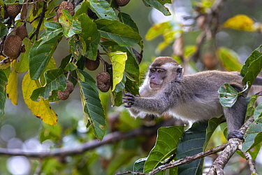 Long-tailed macaque (Macaca fascicularis) picking fruit. Kinabatangan River, Borneo, Malaysia.