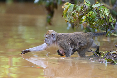 Long-tailed macaque (Macaca fascicularis) female with baby collecting fruit to eat from Kinabatangan River, Borneo, Malaysia.