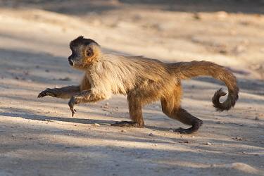 Brown capuchin monkey (Sapajus apella). Pantanal, Brazil.