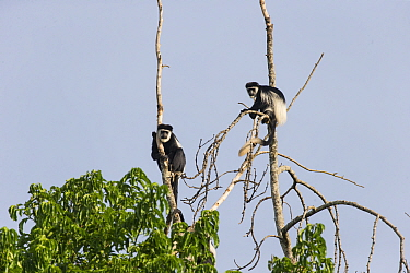 Black and white colobus monkey (Colobus guereza), two in treetops. Kibale Forest National Park, Uganda.