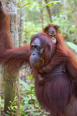 Bornean orangutan (Pongo pygmaeus) female walking with baby aged two years on back. Tanjung Puting National Park, Indonesia.