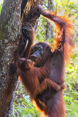 Bornean orangutan (Pongo pygmaeus) female hanging on tree trunk with baby aged two years around neck. Tanjung Puting National Park, Indonesia.