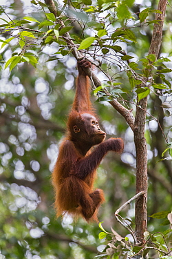 Bornean orangutan (Pongo pygmaeus) aged two years hanging from branch in rainforest. Tanjung Puting National Park, Indonesia.
