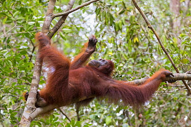 Bornean orangutan (Pongo pygmaeus) female resting in tree. Tanjung Puting National Park, Indonesia.