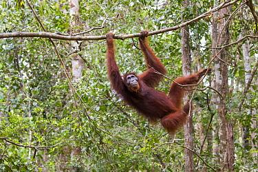 Bornean orangutan (Pongo pygmaeus) female moving through rainforest canopy. Tanjung Puting National Park, Indonesia.