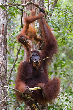 Bornean orangutan (Pongo pygmaeus) female sitting in tree with playing baby aged two years. Tanjung Puting National Park, Indonesia.