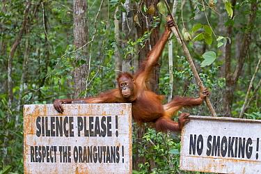 Bornean orangutan (Pongo pygmaeus) swinging amongst signs saying Silence, Respect the Orangutans, No Smoking, rainforest. Tanjung Puting National Park, Indonesia. 2012.