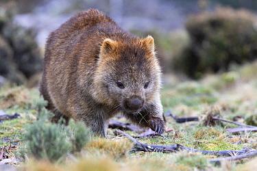 Common wombat (Vombatus ursinus). Cradle Mountain National Park, Tasmania, Australia.