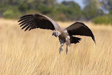 White-backed vulture (Gyps africanus) landing in savannah. Jao Reserve, Botswana.