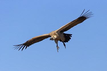 White-backed vulture (Gyps africanus) in flight. Jao Reserve, Botswana.