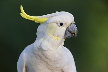 Sulphur-crested cockatoo (Cacatua galerita) portrait. Brisbane, Queensland, Australia.