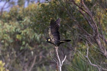 Yellow-tailed black cockatoo (Calyptorhynchus funereus) taking off from tree snag. Kangaroo Island, South Australia.