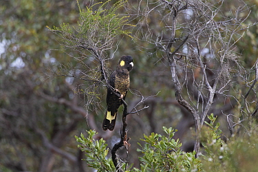 Yellow-tailed black cockatoo (Calyptorhynchus funereus) perched in tree. Kangaroo Island, South Australia.