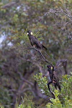 Yellow-tailed black cockatoo (Calyptorhynchus funereus), two perched in tree. Kangaroo Island, South Australia.