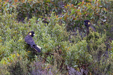 Yellow-tailed black cockatoo (Calyptorhynchus funereus), two perched in scrub. Kangaroo Island, Australia. .