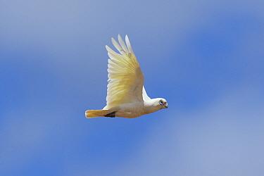 Little corella (Cacatua sanguinea) in flight. Kangaroo Island, South Australia.