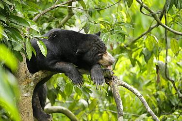 Sun bear (Helarctos malayanus) rests in the forest canopy, at the Borrnean Sun Bear Conservation Centre, rehabilitation centre, , Sandakan, Sabah, Borneo, Malaysia. Vulnerable species.