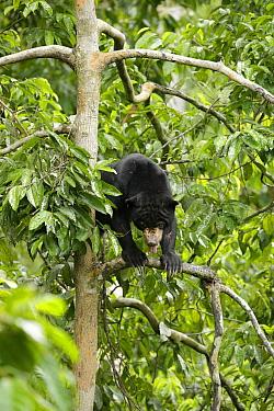 Sun bear (Helarctos malayanus) in the forest canopy, at the Borrnean Sun Bear Conservation Centre, rehabilitation centre, , Sandakan, Sabah, Borneo, Malaysia. Vulnerable species.