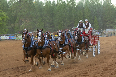 Two cowboys drive a traditional wagon, pulled by six brabant draft/heavy horses, in a six-up hitch formation, during the Draft Horse Classic Show, Grass Valley, California, USA