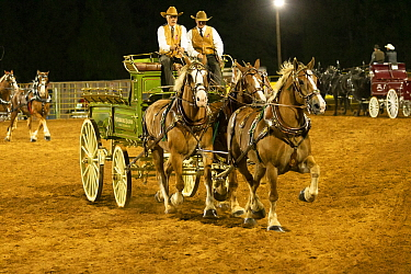 Two cowboys drive a traditional wagon, pulled by three brabant draft/heavy horses, in an unicorn hitch formation, during the Draft Horse Classic Show, Grass Valley, California, USA