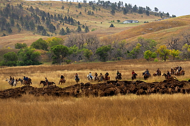Cowboys, mounted on quarter horses, round up a herd of American buffalo ,during the annual round-up, Custer State Park, South Dakota, USA