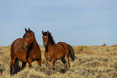 Wild horse colt stands alert next to his mare, in the Pilot Butte State Park, Wyoming USA