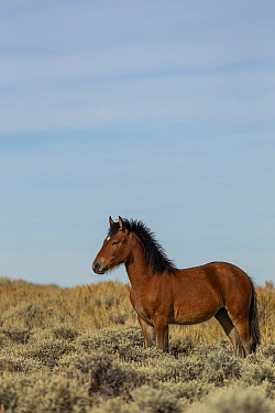 Wild horse colt stands alert, in the Pilot Butte State Park, Wyoming USA