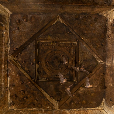 """Schneider's Leaf-nosed Bats (Hipposideros sperosis)"""" bats are roosting on stone carved celling of half submerged old temple ruins. Hampi (World UNECO Heritage Site), Karnataka, India."""