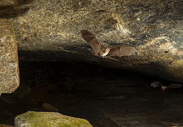 Fulvus leaf-nosed bat (Hipposideros fulvus), flying out of its roosting cave at dusk. Karanataka, India