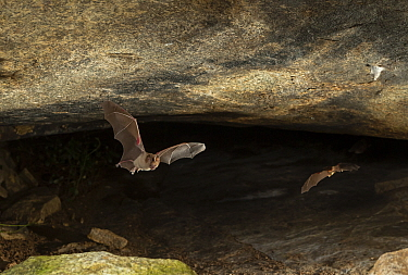 Schneider's leaf-nosed bat (Hipposideros speoris), flying out of its roosting cave at dusk. Karanataka, India