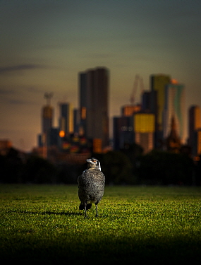 Australian magpie (Cracticus tibicen), on the ground, with the Melbourne city skyline at sunset in the background. Princess Park, Carlton, Victoria, Australia. July. Editorial use only.
