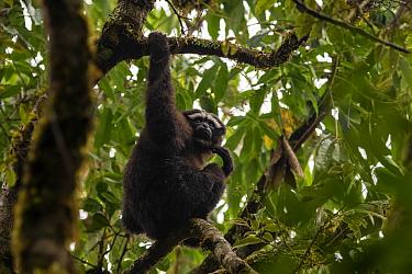 Skywalker hoolock gibbon / Gaoligong hoolock gibbon (Hoolock tianxing) hanging from tree, Gaoligong Mountains National Nature Reserve, Yunnan Province, China