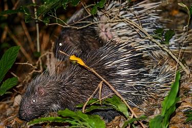 Porcupine (Hystrix brachyura) Victoria Peak, Hong Kong, China