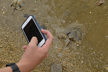 Person taking picture of Horseshoe crab (Tachypleus tridentatus) release event oragnized by Ocean Park Conservation Foundation, Hak Pak Nai beach, Yue Long, Hong Kong, China
