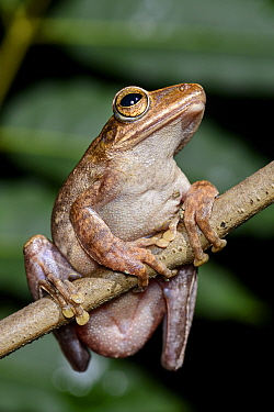 Brown tree frog (Polypedates megacephalus) southwestern coast of Lantau Island, Hong Kong, China