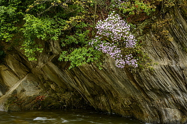 Rhodoendron flowering on cliff above river, Tangjiahe Nature Reserve, Sichuan, China.