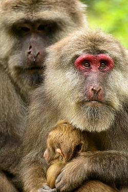 Tibetan macaques (Macaca thibetana) male and female with baby, Tangjiahe Nature Reserve, Sichuan, China.