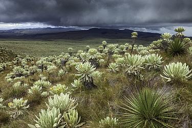 Frailejon (Espeletia pycnophylla) plants on slope of paramo. Voldero Lagoons, El Angel Ecological Reserve, Carchi Province, Ecuador. August 2010.