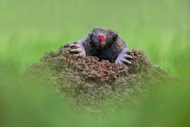 Common mole (Talpa europaea) on mole hill. Dorset, England, UK. November. Controlled conditions
