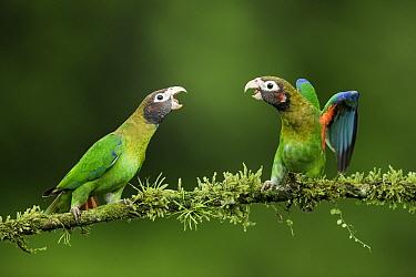 Brown-hooded parrot (Pyrilia haematotis), two fighting on branch. Laguna del Lagarto, Costa Rica.