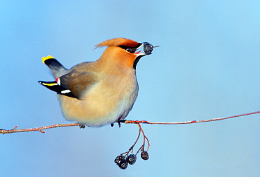 Waxwing (Bombycilla garrulus) feeding on berries, perched on branch. Finland. February.